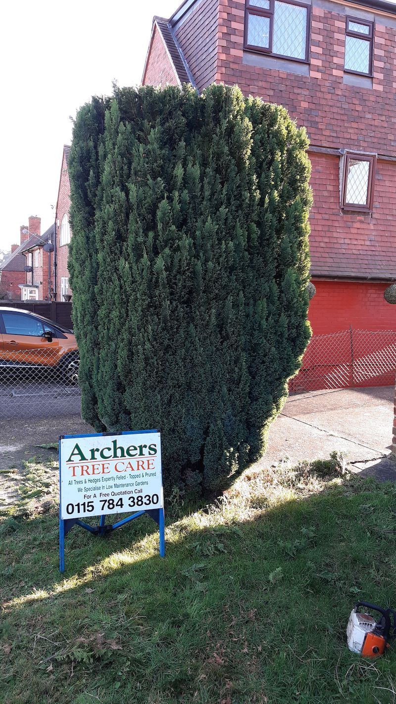 conifer cut down and shaped